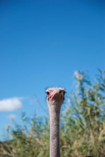 Close-up of a ostrich head against blue sky