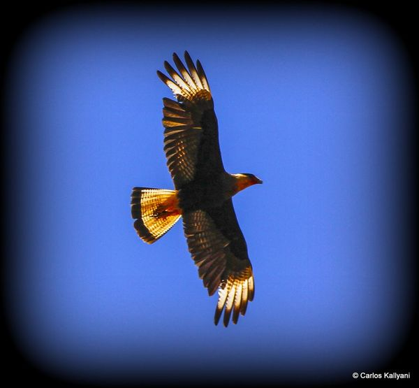 Carcará do Cerrado - Gavião Flying One Animal Bird Animal Themes Animal Wildlife No People Day Fotoart Brasília Foto Brasília Minha♥ Fotografia Photo Gaviãogavião Photography