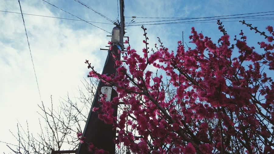 Japanese Apricot Pink Blue Sky Pink Flower Spring Printemps Showcase: February Beautiful Flowers Flower Fleurs Fleur Japan XPERIA Xperia Z4 Here Belongs To Me Nature's Diversities Ultimate Japan Streetphotography Fine Art Photography