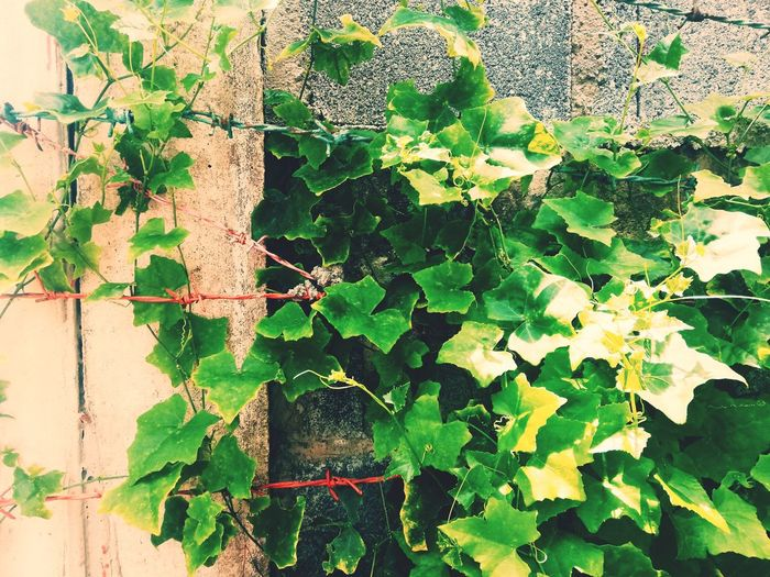 Leaf Green Leaves Light And Shadow Light Sunlight Plant Concrete Barbed Wire Barbed Wall Coccinia Grandis Coccinia Grandis Leaf Leaf Sunlight Full Frame Close-up Plant Green Color Plant Life Creeper Creeper Plant Botany Growing Overgrown Branch Thorn Bud