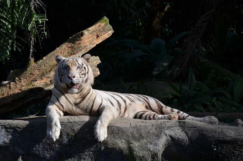Tiger resting on rock