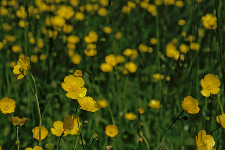 Many Yellow buttercup flowers in a green field, selective focus. Spring Nature Plant Beauty In Nature Buttercup Ranunculus Meadow Grass Yellow Wildflower Flowering Plant Flower Growth Fragility Flower Head Focus On Foreground Selective Focus Outdoors Field Side View Freshness Petal Bokeh Blurred Motion Field