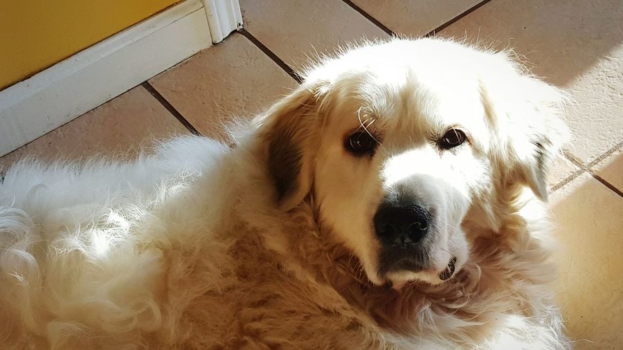 My girl. Dog Pets Domestic Animals One Animal Looking At Camera No People Animal Themes Close-up Cell Phone Photography Galaxy S6 Edge Great Pyrenees Fluffy Pet Portraits