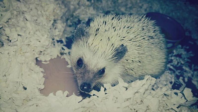 Holly Baby One Animal Hedgehog Animal Themes Animal Wildlife Mammal No People Nature Petsandanimals Pets Of Eyeem Pets Are Family EyeEmBestPics EyeEm Best Shots Colorado Photography Trulifephotoz Hedgehogs Check This Out! Animal Photography Pets Pet Portraits