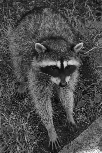Black And White Photography Raccoon Animal Themes Mammal Animal One Animal Vertebrate Field Looking At Camera Land Day Close-up Nature No People Portrait