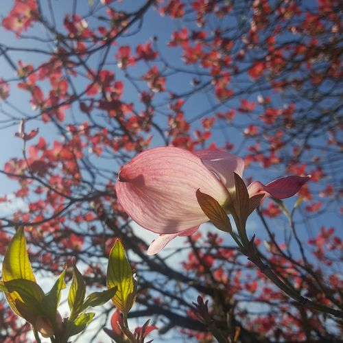 Dogwood Bokeh Dogwood Dogwood Tree Selective Focus Pink Color Pink Flower Pink Natural Nature Flower Head Flower Tree Branch Petal Springtime Close-up Sky Plant In Bloom Plant Life Blossom Blooming Botany Bud