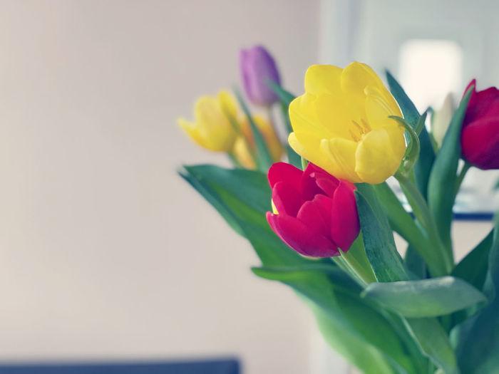 Close-up of multi colored tulip flower