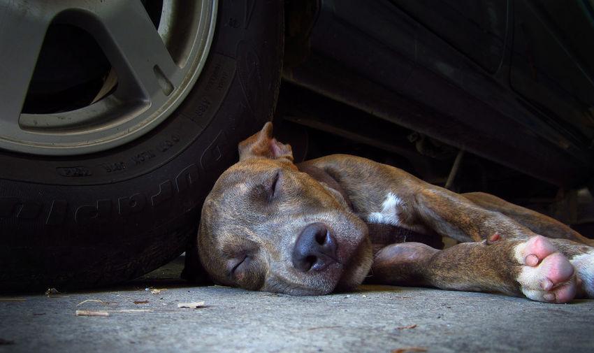 Best Friend Brindle Brindle Dog Brindle Pitbull Dog Exhausted Pitbull Pitbulls Sleeping Tired Pet Portraits