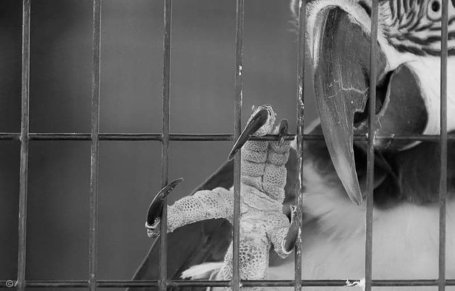 Bird Macaw Parrot Cage Trapped Black & White Behind Bars No Escape Flightless