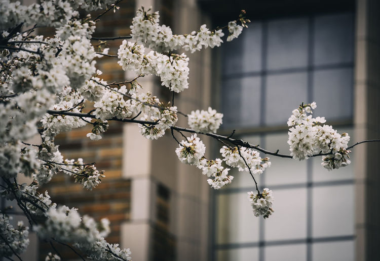 Tree Plant Branch Day Growth Nature No People Close-up Beauty In Nature Cherry Blossom Outdoors Focus On Foreground Fragility Flower Springtime White Flower Blossom Brick Blurred Background Window Seattle Washington State Pacific Northwest  Travel Destinations Destination