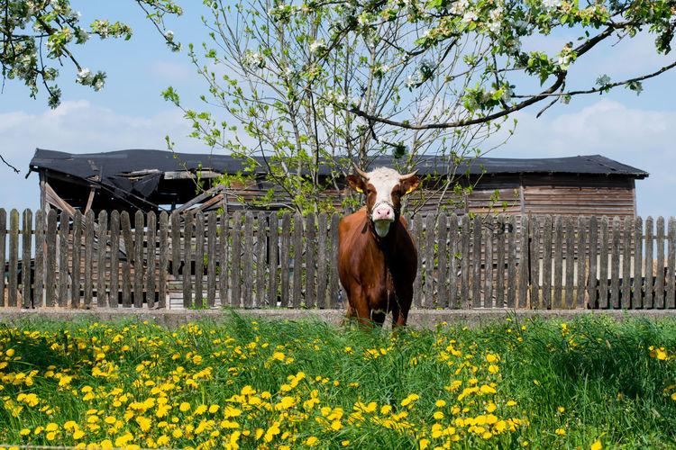 EyeEm EyeEm Selects EyeEm Gallery Nature Nature Photography Poland Poland Is Beautiful Cow Cows In A Field Eye Eye4photography  Igers Nature_collection Poland 💗 Village Village Photography