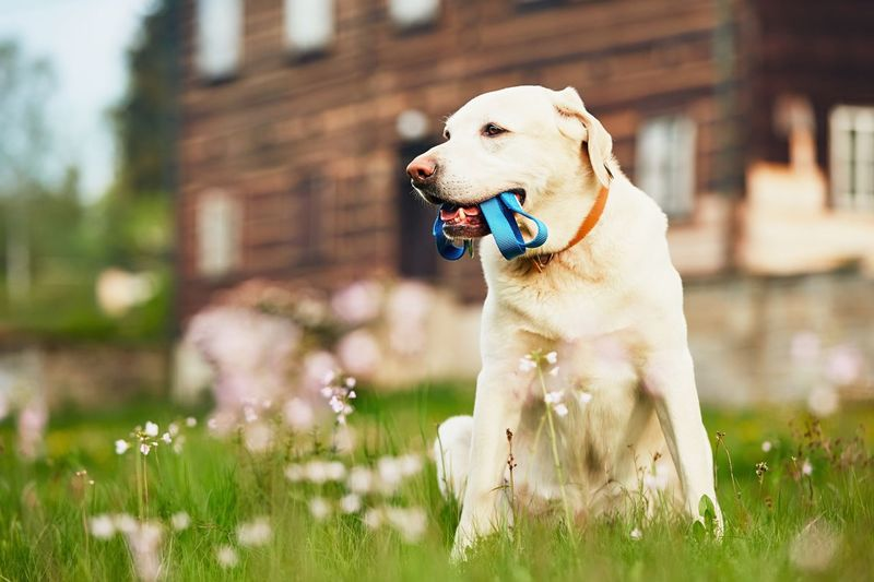 Dog carrying pet collar in mouth while sitting on grass