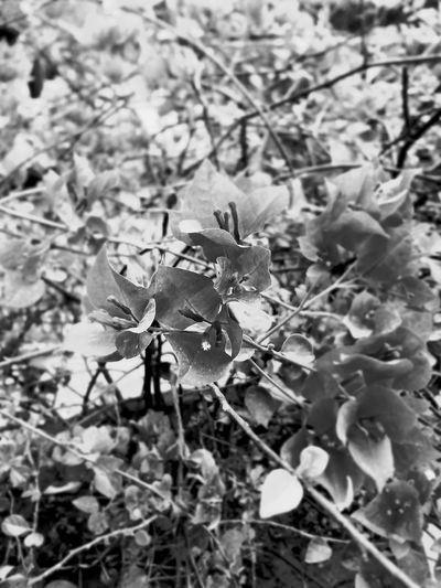Blackandwhite Nature Plant Growth Leaf Flower No People Outdoors Day Close-up Beauty In Nature Focus On Details Focus Objects EyeEm Best Edits EyeEmBestPics EyeEmNewHere EyeEmBestEdits EyeEm Best Shots Best Shots EyeEm Mobilephotography Blackandwhite Photography Black And White Flower Collection