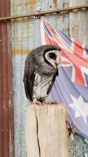 Elegance And Class Birds Owl Owl Eyes Owl Photography Owl Portrait. Close-up Caversham Wildlife Park Perth Australia Perth Bird
