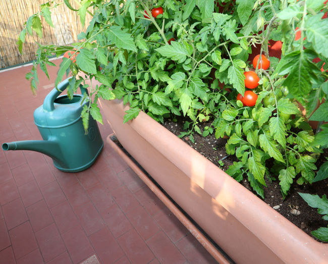 High angle view of vegetables on plant in pot