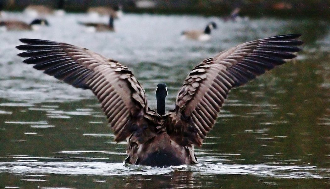 Showcase: January Canada Goose Wings Wingspan Feathered Friends Feather_perfection Bird Photography The Great Outdoors Nature Nature Photography