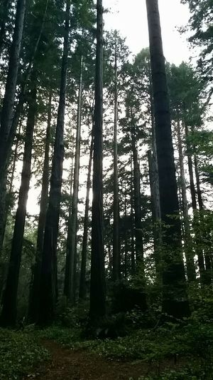California Redwoods Humboldt County Naturelovers Peaceful Sunny Day
