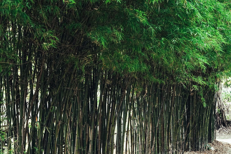 Plant Growth Tree Nature Forest Land Beauty In Nature Green Color No People Tranquility Tropical Climate Outdoors Bamboo - Plant Day Lush Foliage Foliage Bamboo Palm Tree Bamboo Grove Tranquil Scene Rainforest