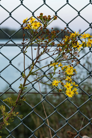 Abberton Resevoir Layer Breton Beauty In Nature Blooming Chainlink Fence Close-up Colchester Day Flower Flower Head Focus On Foreground Fragility Freshness Growth Nature No People Outdoors Petal Plant Protection Safety Sky Yellow