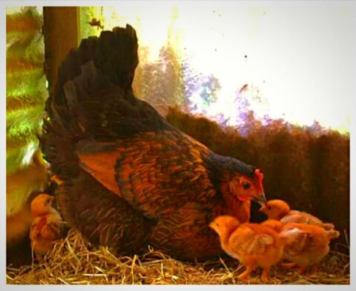 Spring Chickens Mama Hen Chicks Man Chicks And Hens Peepshow Hatched Animal Themes Domestic Animals Nature Outdoors Bird Birds Of EyeEm  Bird Photography Pacific Northwest  Oregon Beauty Focus On Foreground Photography Themes Eyeem Market I LOVE PHOTOGRAPHY Snapshots Of Life Getty Images EyeEm Gallery Illuminated Multi Colored New Mother Live For The Story Pet Portraits EyeEmNewHere The Week On EyeEm