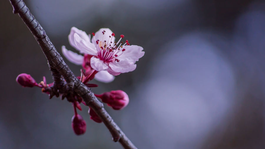 Plum Blossom Beauty In Nature Blossom Botany Branch Close-up Day Flower Flower Head Fragility Freshness Growth Nature No People Outdoors Petal Plant Plum Blossom Selective Focus Springtime Stamen Tree Twig