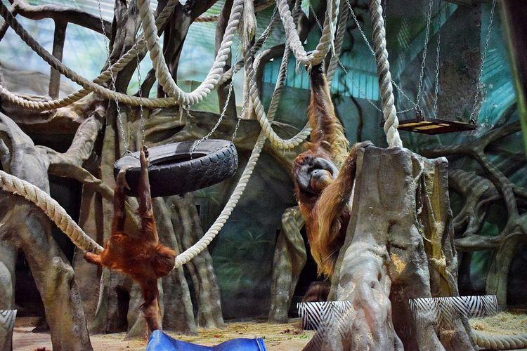 Monkeys Animal Representation Tree No People Hanging Animal Themes Mammal Outdoors Day Monkey Monkeys Orangutan Orangutans Animal Photography Animal_collection Animals Zoo