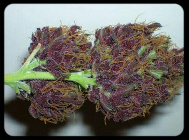 Purple Swaggin Marijuana Kush SMOKE WEED EVERYDAY Smoking Dope Good Kush And Alcohol