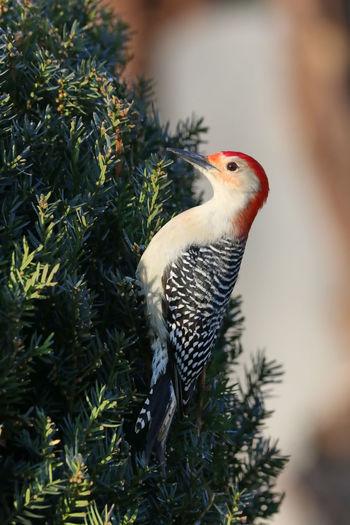 Close-up of a bird perching on pine tree