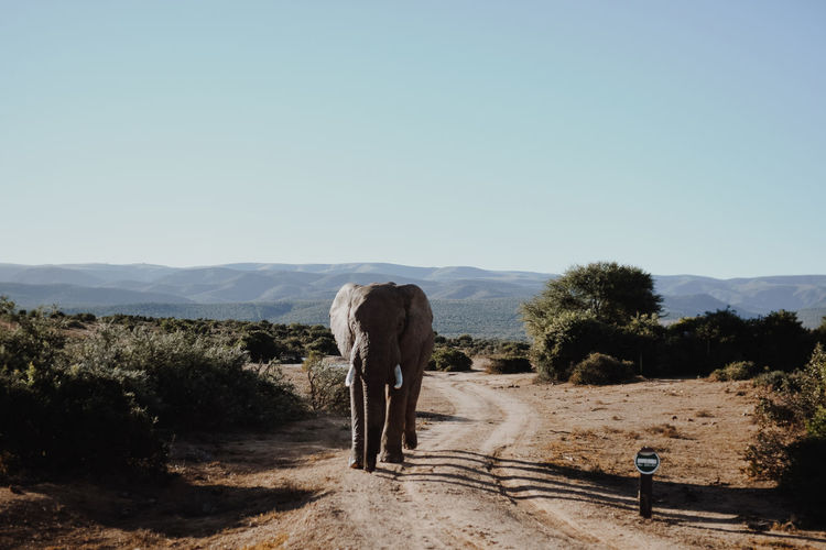 Elephant in Wilderness Elephant Crossing The Road Nature Nature Park  South Africa Wild Animal Animal Animal Themes Day Elefant Elephant Elephant Nature Park Elephants Herbivorous Land Mammal Nature Nature_collection One Animal Safari Sky Vertebrate Watching Animals Wild Elephant Wilderness Wildlife