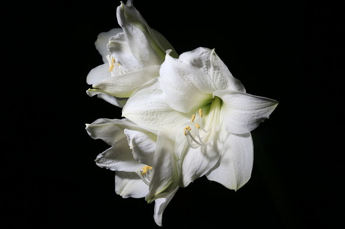 Amaryllis Flowers Flower Blossom Blüte Blüten White Black And White Eye4photography  Nature AMPt_community Q Monochrome Photography