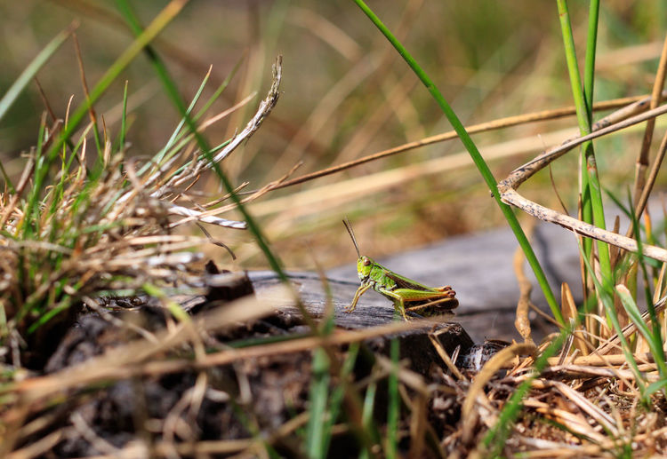 Grasshopper Insect Nature Nature Nature Photography WoodLand Blade Of Grass Field Grasshopper Green Color Insect Insect Photography Insects  Invertebrate Nature Nature_collection Selective Focus Woodland Walk
