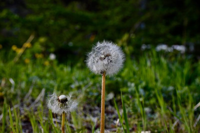 Plant Growth Flower Focus On Foreground Close-up Nature Flowering Plant Freshness No People Land Beauty In Nature Day Plant Stem Flower Head Dandelion Outdoors Field Fragility Inflorescence
