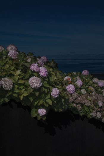 Conquering Hydrangea Plant Beauty In Nature Water Nature Growth Flowering Plant Flower Night Waterfront Outdoors Scenics - Nature Sky Sea No People
