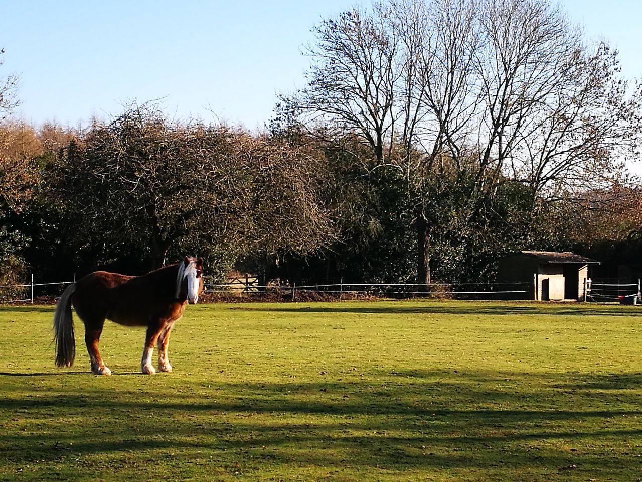 tree, domestic animals, grass, bare tree, mammal, animal themes, horse, field, nature, growth, day, outdoors, no people, sky, one animal, branch, clear sky, beauty in nature