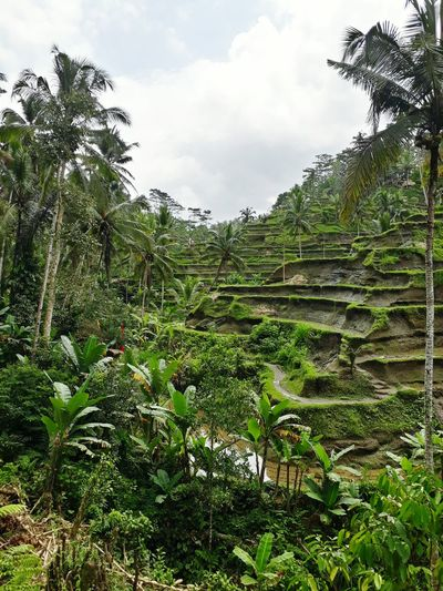 Bali Bali, Indonesia Balinese Rice Paddy Rice Field Rice Terraces Ubud Travel Destinations Tree Lush - Description Sky Plant Green Color Cloud - Sky Cultivated Land Terraced Field Plantation Farmland Agriculture Rice - Cereal Plant Rice Paddy Crop  Agricultural Field Growing Lush Foliage