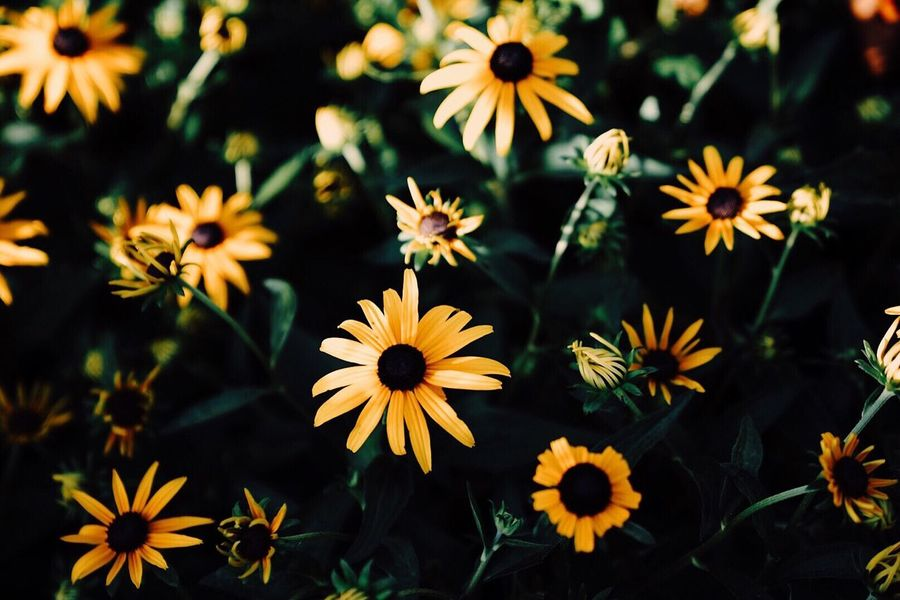 Flower Beauty In Nature Petal Fragility Nature Freshness Flower Head Blooming No People Plant Day Outdoors Close-up Osteospermum Black-eyed Susan Zinnia
