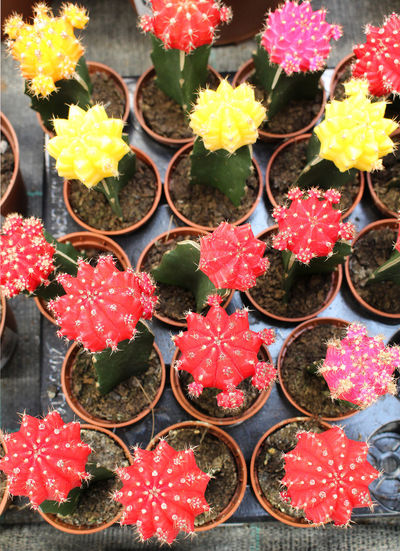Cacti Decorative Plants Arrangement Cactus Choice Close-up Dessert Directly Above Flower Flowering Plant Food Food And Drink Freshness Full Frame High Angle View Indoors  No People Ornamental Plants Plant Succulent Plant Sweet Sweet Food Tray Variation