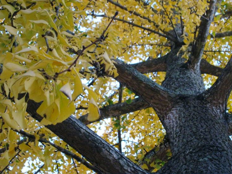 Ginkgo Biloba Tree Yellow Leaves Showcase: December TreePorn Autumn Colors Nature Beauty Endangered  Living Fossil Stunning Maidenhair Tree Vibrant Autumn Autumn Leaves