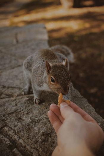 Close-up of hand feeding squirrel