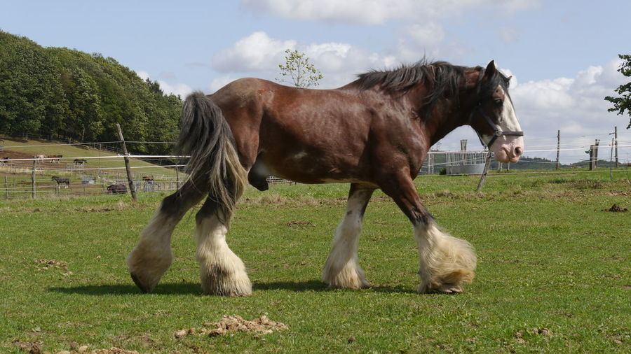 Walking big horse clydesdale