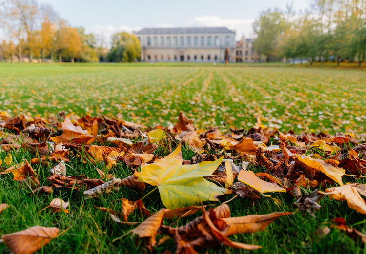 Autumn at Trinity College Cambridge Autumn Autumn Colors Autumn Leaves Architecture Autumn Autumn🍁🍁🍁 Beauty In Nature Building Exterior Cambridge Change Close-up Fallen Field Focus On Foreground Fragility Grass Leaf Leaves Maple Maple Leaf Nature No People Outdoors Sky University