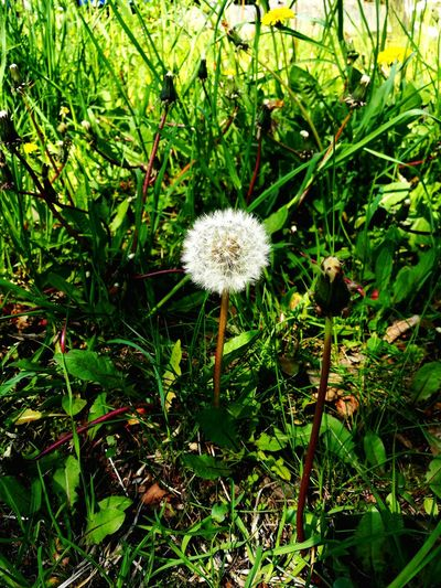 Completion Dandelion Plant Seed Head Puff