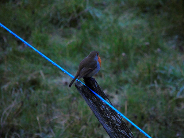 Robin Returns Alone Animal Animal Themes Animals Animals In The Wild Balance Beauty In Nature Bird Birds Blue Clothesline Day Eyeem Scotland  Nature Nature No People One Animal Perching Red Robin Redbreast Scotland Selective Focus Uk Wildlife Zoology