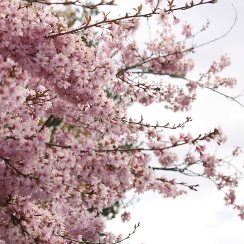 Low angle view of pink cherry tree against sky