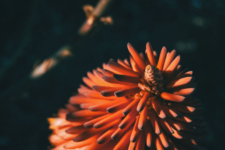 Beauty In Nature Close-up Day Flower Flower Head Flowering Plant Focus On Foreground Fragility Freshness Growth Inflorescence Nature No People Orange Color Outdoors Petal Plant Pollen Vulnerability