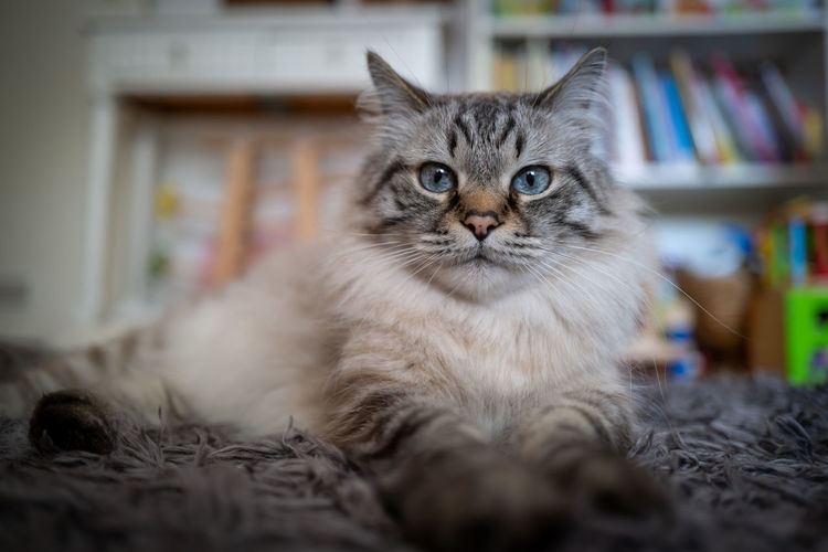 Birman Cat Domestic Pets Cat Domestic Animals Domestic Cat Animal Themes Animal Mammal Feline One Animal Indoors  Selective Focus Portrait Looking At Camera Relaxation No People Vertebrate Furniture Close-up Home Interior Whisker Birman Cat