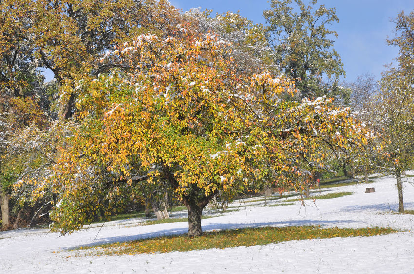 apple tree in autumn with snow Autumn Colors Autumn Leaves Weather Apple Tree Early Snowfall Fruit Trees Season  Snow