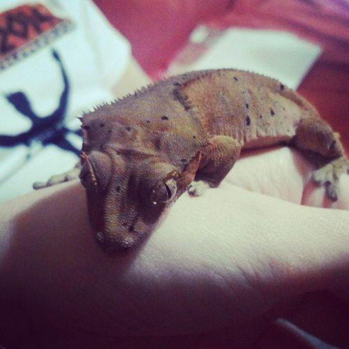 Самое любимое чудо ресничный геккон-бананоед)???ресничный геккон бананоед ящерица eyelashGeckogeckorhacodactylusCiliatusreptillizard