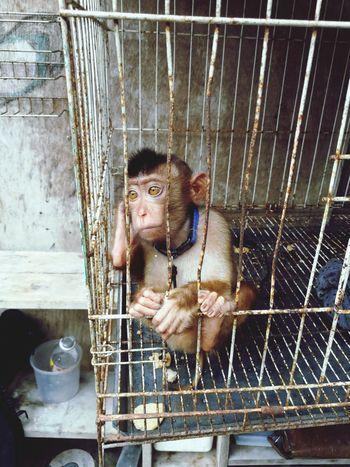 little monkey that thinking about the future Sad Alone Waiting Future Animal Trapped Cage Animals In Captivity Orangutan Zoo Gorilla Chimpanzee Prison Monkey Prisoner