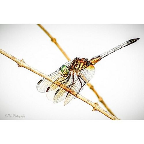 Dragonflies are